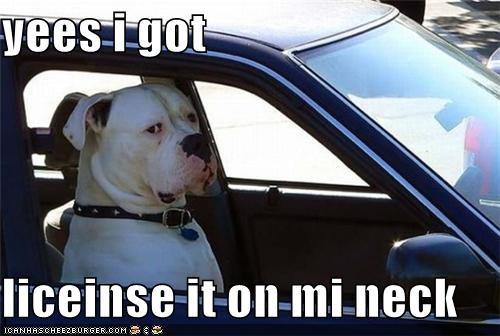 answer bull mastiff bullmastiff car collar driving got have license misinterpretation neck officer on police pulled over question yes - 4509997312