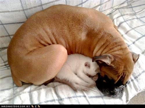 cat cocoon cuddling favorite kittehs r owr friends kitten mixed breed pug sleeping