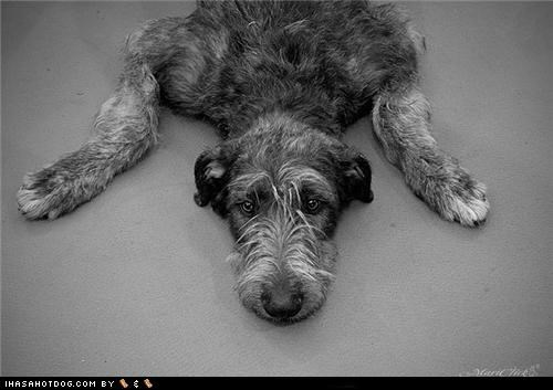 black and white confused eeyore irish wolfhound moping question Sad themed goggie week winnie the pooh - 4512394752
