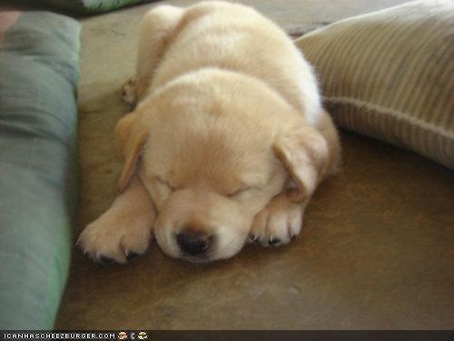 asleep bliss blissful cyoot puppeh ob teh day labrador puppy sleep sleeping sleepy - 4512550400