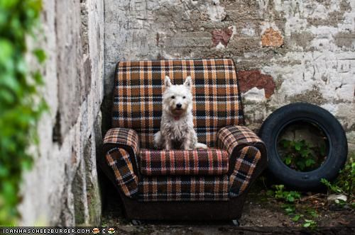 chair comfortable content cyoot puppeh ob teh day happy puppy sitting trash treasure west highland white terrier
