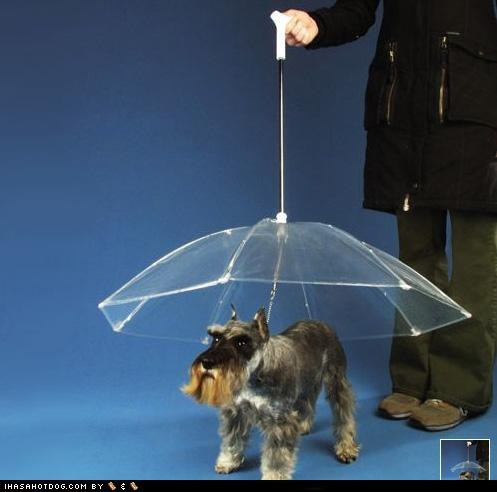 bumbershoot,conversation piece,Dogbrella,invention,poll,protection,rain,raining,schnauzer,umbrella,walking,weird,wet