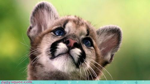 baby best ever cougar cub do want fyi information interesting itty bitty puma purr snuggle snuggling