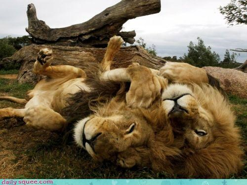 acting like animals around condescending insult lazing lazy lion lions lying parent playing pun quite talking