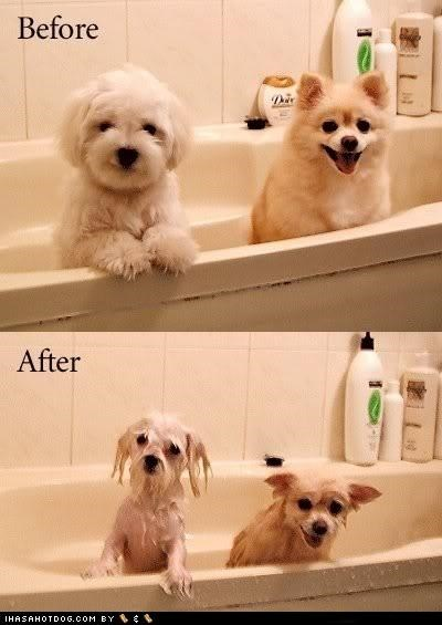 after bath bath time bathing before best of the week do not want drenched Hall of Fame happy i has a hotdog maltese oblivious pomeranian Sad soaked unsuspecting water wet - 4515533568