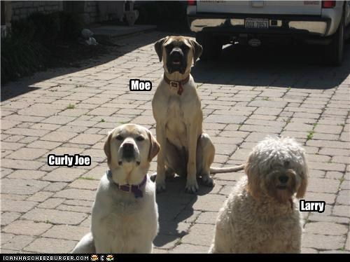 bull mastiff,bullmastiff,curly,labrador,larry,moe,old english sheepdog,pun,The Three Stooges