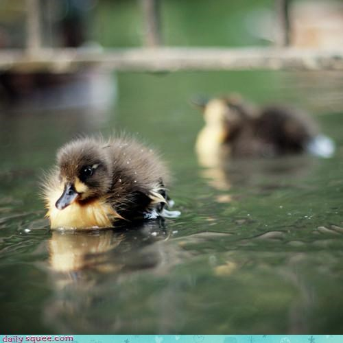 cute cutest duck duckling ever explosion omg swimming tiny - 4516734976