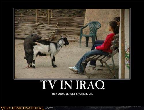 goat iraq pig TV wtf - 4517913856