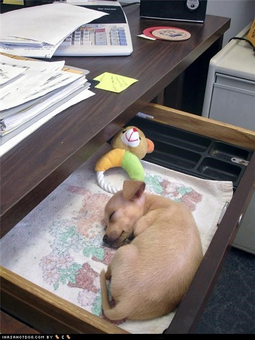 asleep desk drawer emergency Office puppy sleeping whatbreed - 4518745856