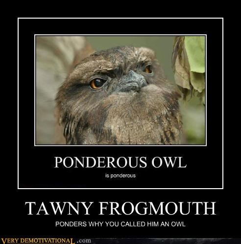 TAWNY FROGMOUTH PONDERS WHY YOU CALLED HIM AN OWL