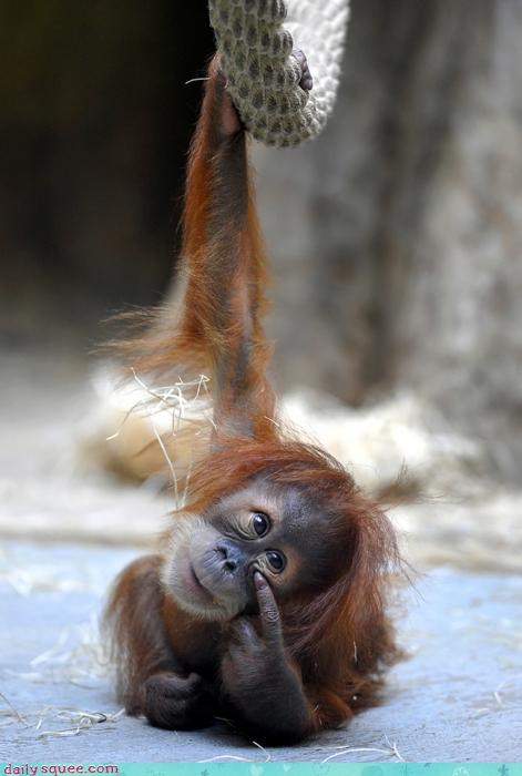 acting like animals baby date failing looking obvious orangutan trying upset - 4519694592