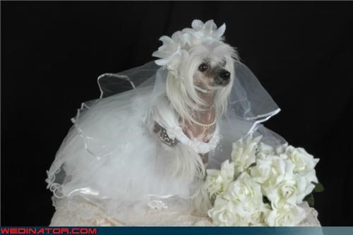 animals bride dogs friends funny wedding photos poll - 4521901824