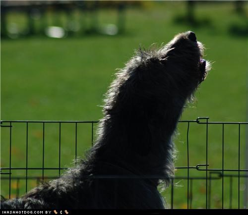 howl,howling,irish wolfhound,shadow,silhouette,themed goggie week,wolf