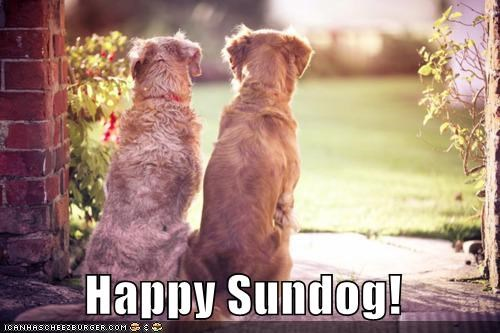 golden retriever golden retrievers happy happy sundog Staring sun Sundog sunny - 4522068992