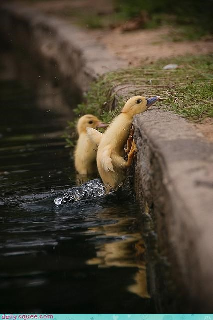 acting like animals baby confused duck duckling FAIL frustrated Gravity problem running swimming upset wall - 4523328512