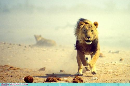 acting like animals amazed cheetah excited feeling happy lion run running surprised wind windy - 4523332864