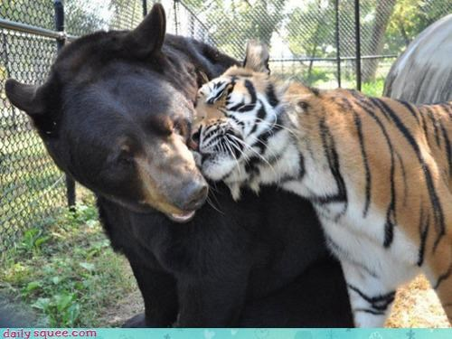 acting like animals bear breaking up cliché crying cuddling evidence forbidden forbidding Interspecies Love love lovers painful Sad shakespeare talk tiger - 4523341056
