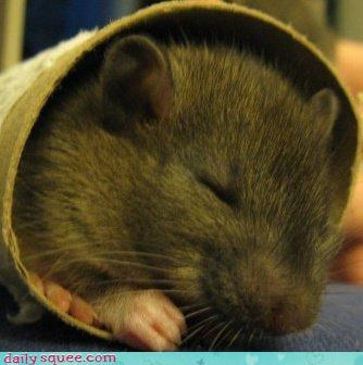 asleep,bed,cardboard,do want,peaceful,rat,reader squees,sleeping,tube