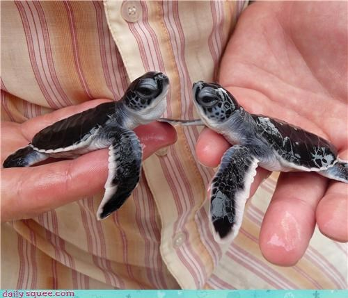Babies baby face to face sea turtle sea turtles squee spree Staring tiny turtle turtles - 4531998720