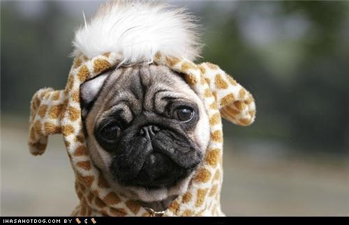 contest,costumed,dressed up,giraffes,Hall of Fame,pug,shape,shapes,size,sizes,themed goggie week,winner