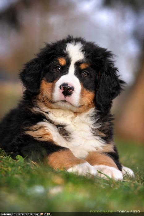 bernese mountain dog cyoot puppeh ob teh day denial fat not puppy wrinkly - 4533137152