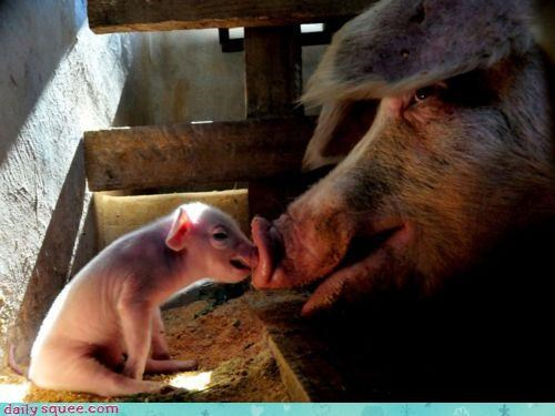 baby cute cuter KISS kisses kissing nose pig piglet scrunched squished - 4533327104