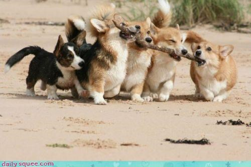 corgi corgis cute fetch fetching helping important lesson role runt team teamwork