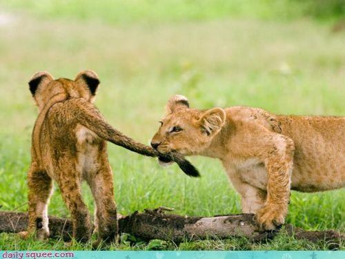 acting like animals argument biting couple cub cubs dating fighting lion lions playing relationship Sad tail upset wait - 4533330688
