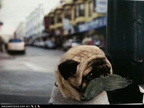 disguise Hall of Fame incognito mustache pug pun themed goggie week - 4535250176