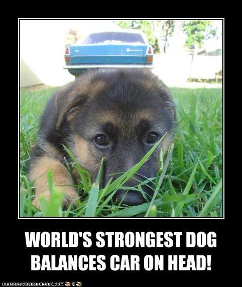 balances balancing car german shepherd head perspective puppy strongest world - 4535508480