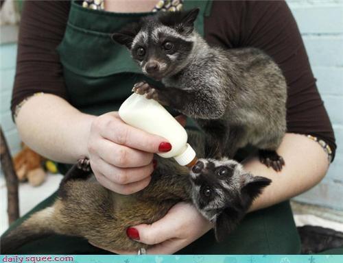 adorableness Babies baby civet civets dharma shape signification yang yin yin yang - 4535800832