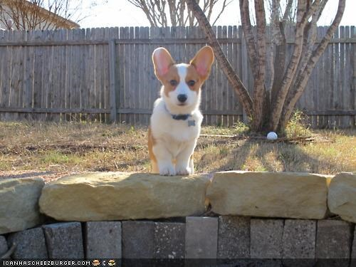 backyard,brave,corgi,cyoot puppeh ob teh day,exploring,outdoors,outside,puppy,wild,wilderness