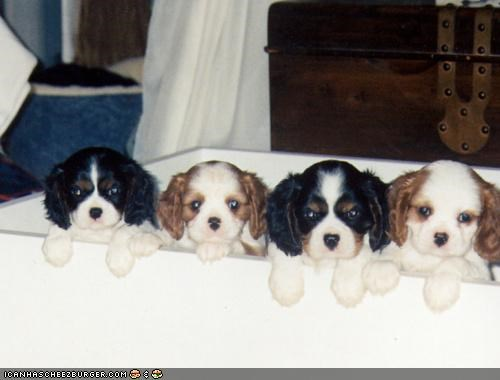 cavalier king charles spaniel cyoot puppeh ob teh day do not want let out please puppies puppy unhappy upset us