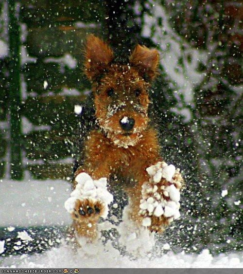 airedale terrier cyoot puppeh ob teh day do want excited happy jump jumping playful playing puppy running snow snowshoeing snowshoes