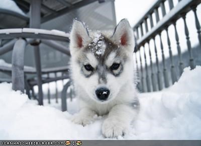 abominable covered cute cyoot puppeh ob teh day husky prowling puppy snow snowman snowy stalking