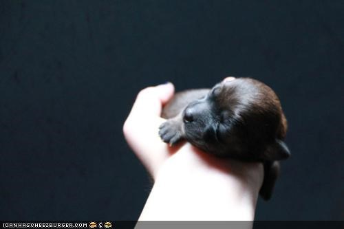 asleep,cute,cyoot puppeh ob teh day,hand,held,holding,newborn,palm,power,puppy,sleeping,tiny,whatbreed