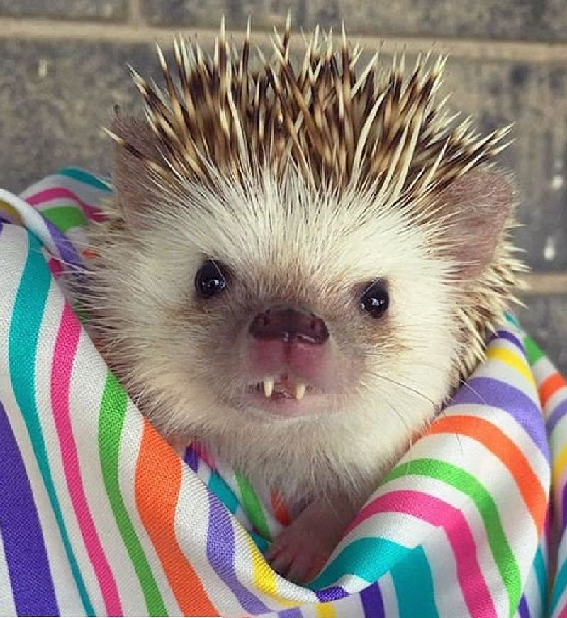 cute hedgehogs photos