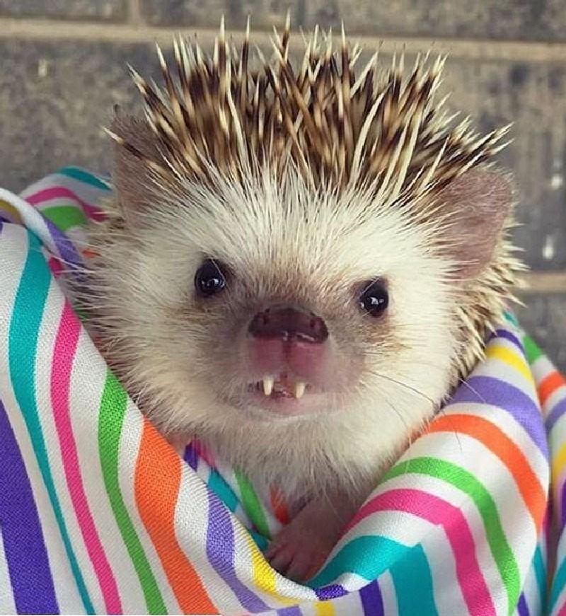 cute hedgehogs photos