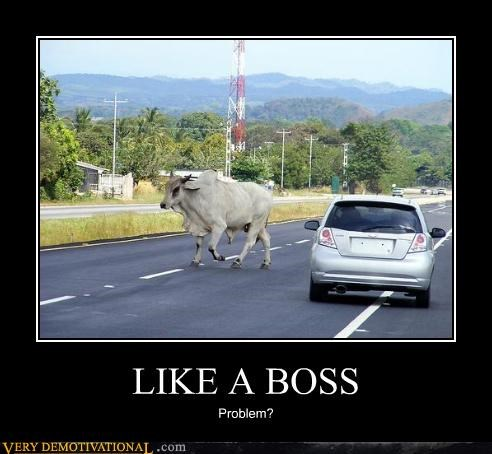 animals bull cow Like a Boss wtf