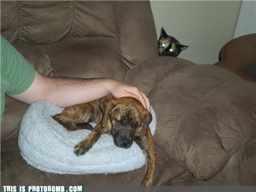 Cats Caturday dogs ominous photobomb - 4538326016