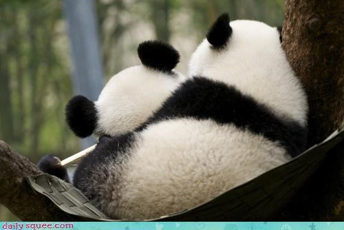 asleep cub cuddling nap napping panda panda bear rest resting sleeping