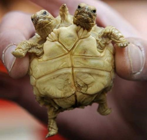 How About That,Two-Headed Tortoise