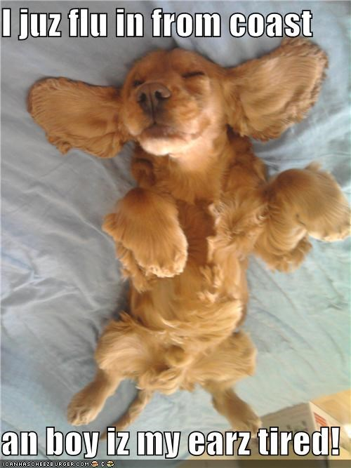 cliché,coast,dachshund,ears,finished,flew,flying,joke,long haired,puppy,sleeping,tired