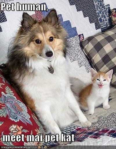 cat collie human introducing introductions kitten mixed breed pet