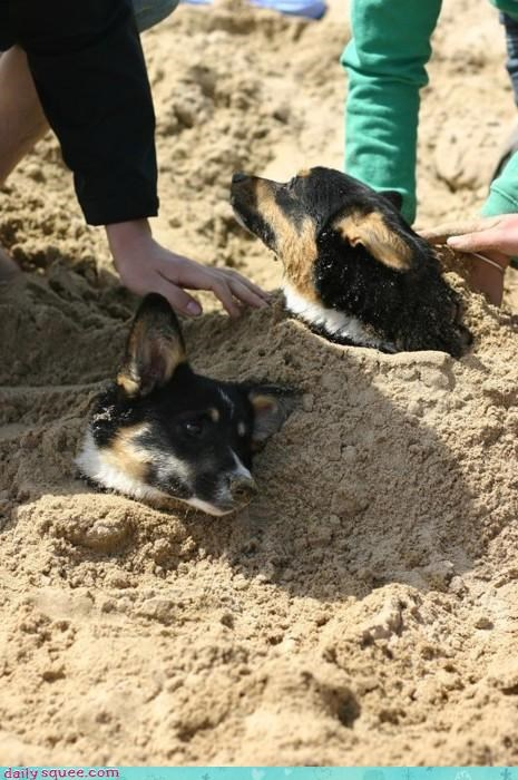 acting like animals beach buried confused corgi corgis dig digging hoping joke sand shovel stuck trapped - 4542970112