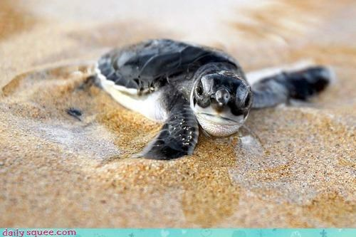 baby beckoning sea turtle squee spree swim swimming water