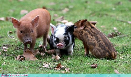 baby contest goat goats pig piglet piglets poll squee spree versus - 4543019264