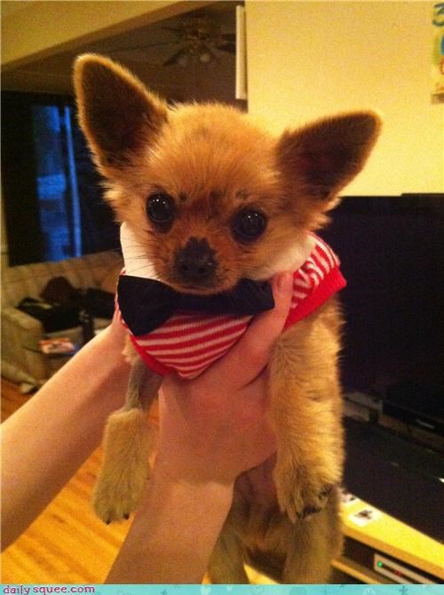 baby chihuahua corgi dogs dressed up mixed breed outfit pomeranian puppy reader squees