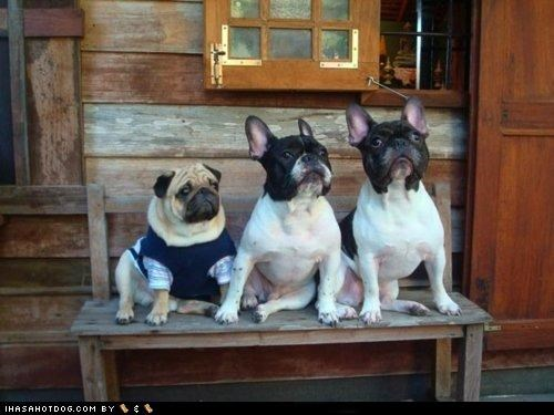 costume dressed up family family photo french bulldogs odd one out out of place posed posing pug - 4545294336