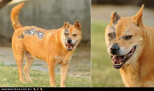 adopt adoption akita burn burned burns chow forever home Hall of Fame help need rescued - 4545402624